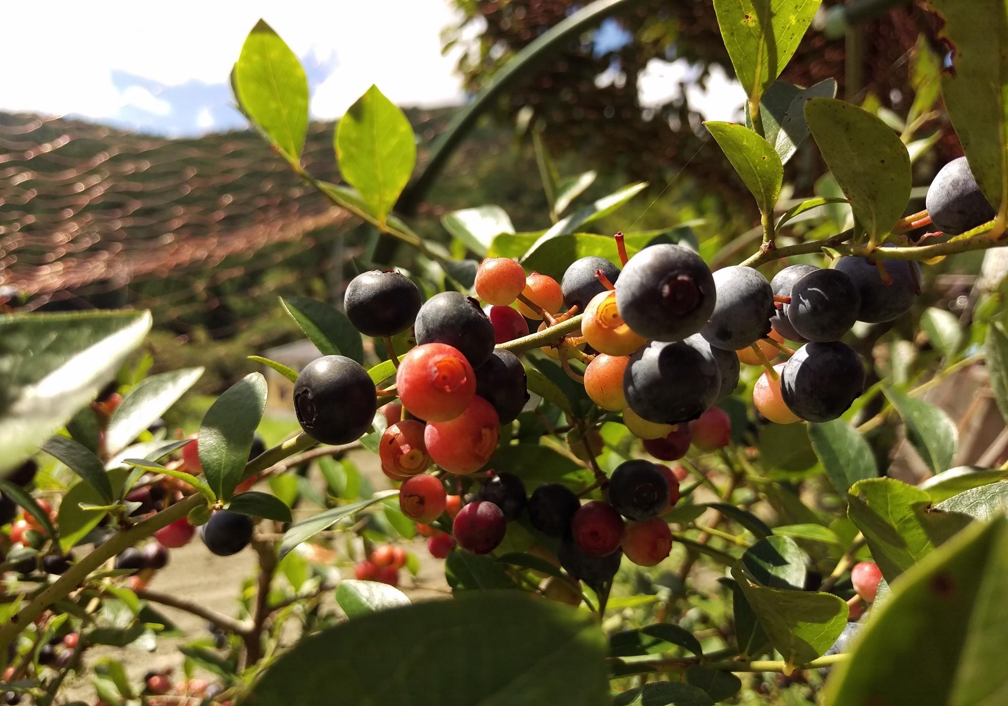 山口さんの庭のブルーベリーの木